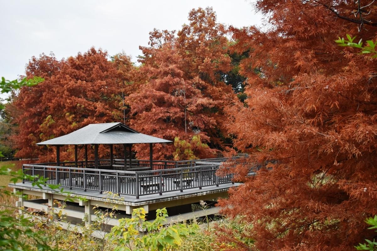 宇治市植物公園・修景池 ヌマスギの褐葉 見頃 2020年11月22日 撮影:MKタクシー