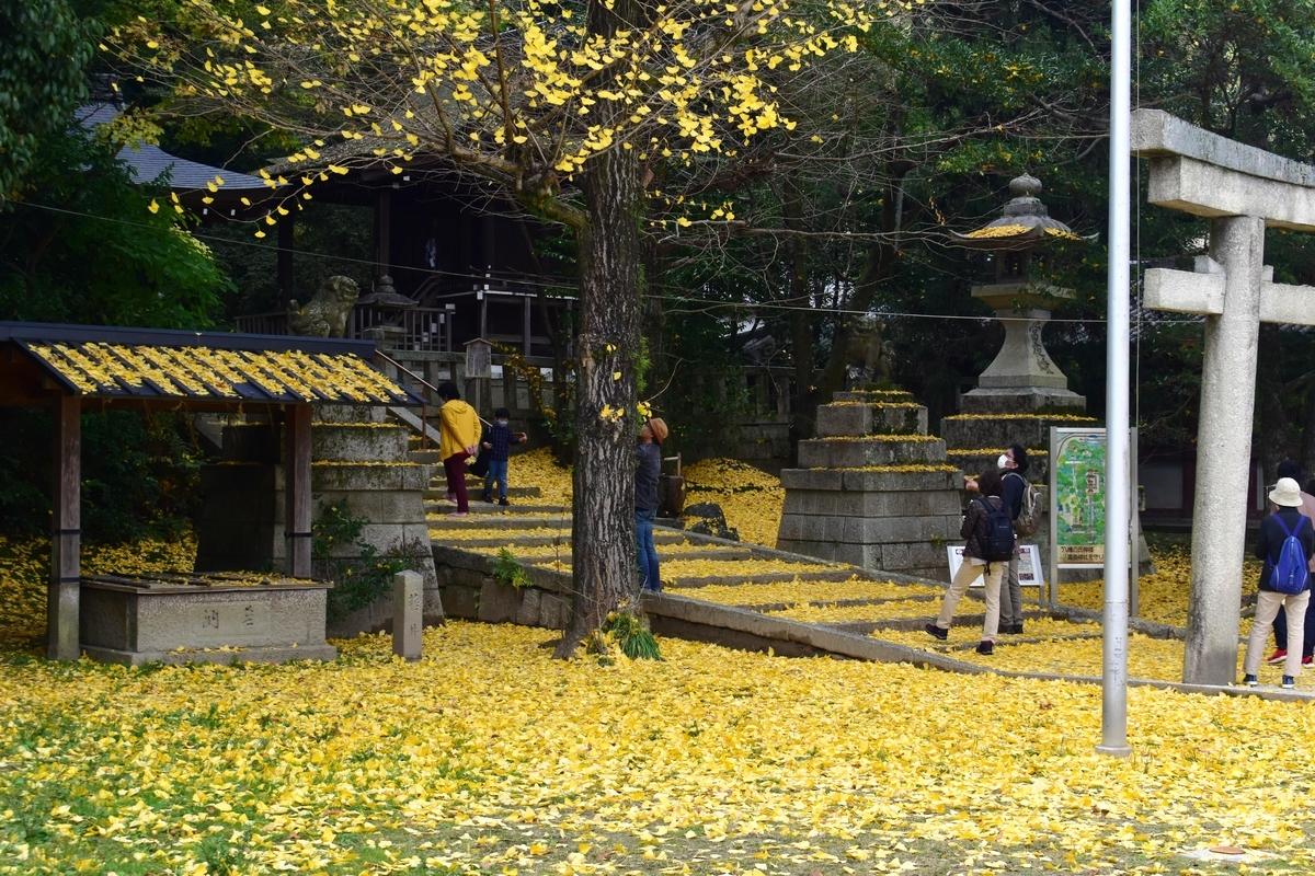 高良神社のイチョウ 終わり近し 2020年11月22日 撮影:MKタクシー