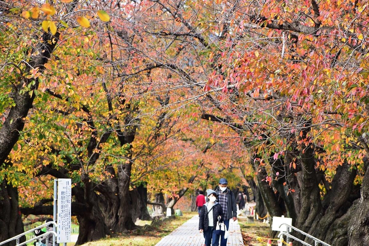 背割堤・ソメイヨシノの桜紅葉 散りはじめ 2020年11月22日 撮影:MKタクシー