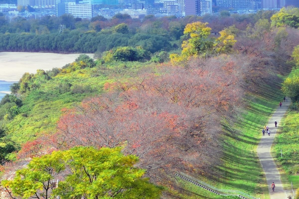 展望塔から見た背割堤・ソメイヨシノの桜紅葉 散りはじめ 2020年11月22日 撮影:MKタクシー
