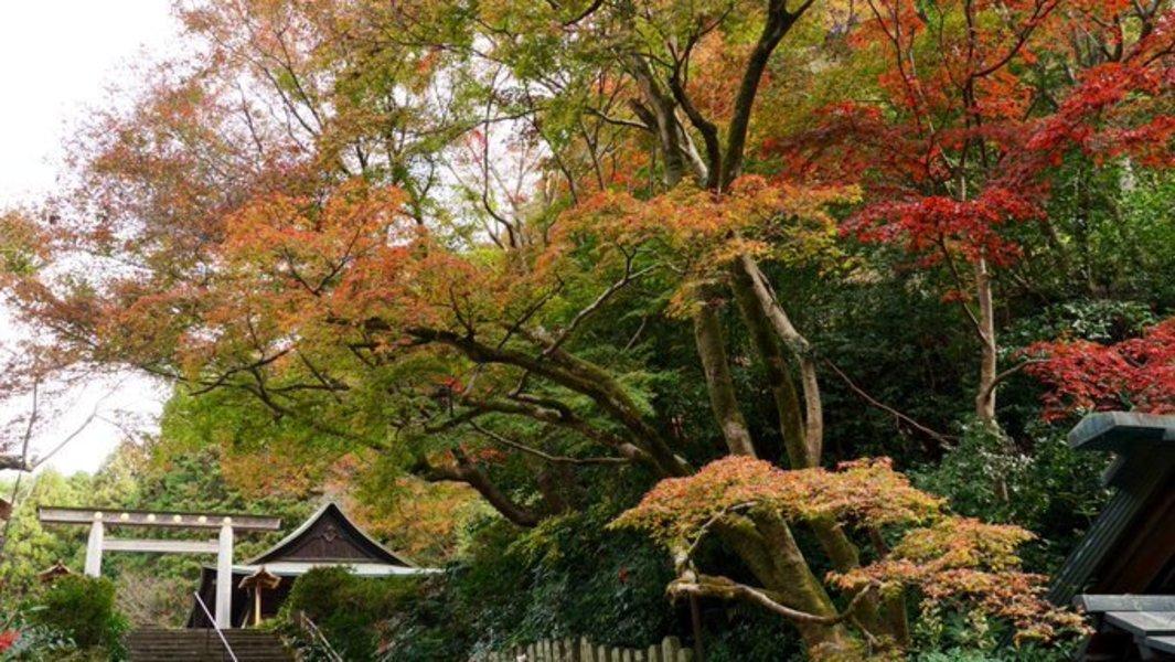 日向大神宮の紅葉 見頃 2020年11月25日 撮影:MKタクシー