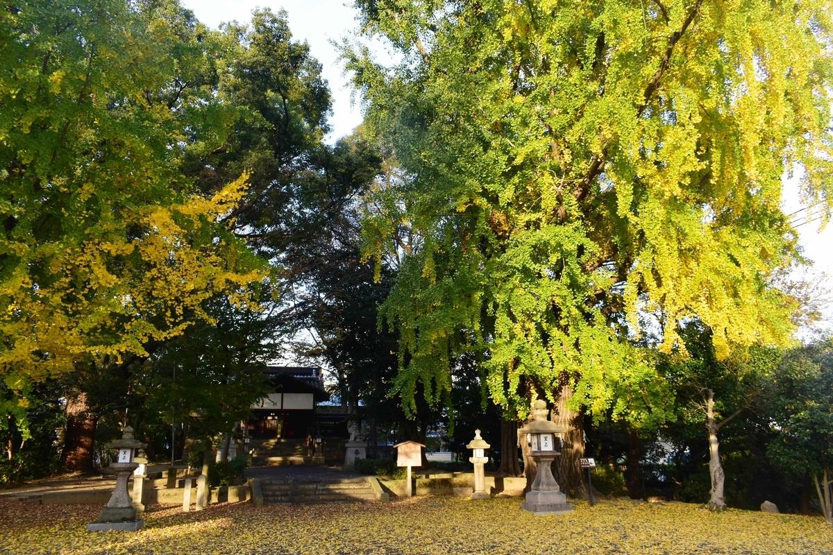 三栖神社の黄葉 色づきはじめ 2020年11月30日 撮影:MKタクシー