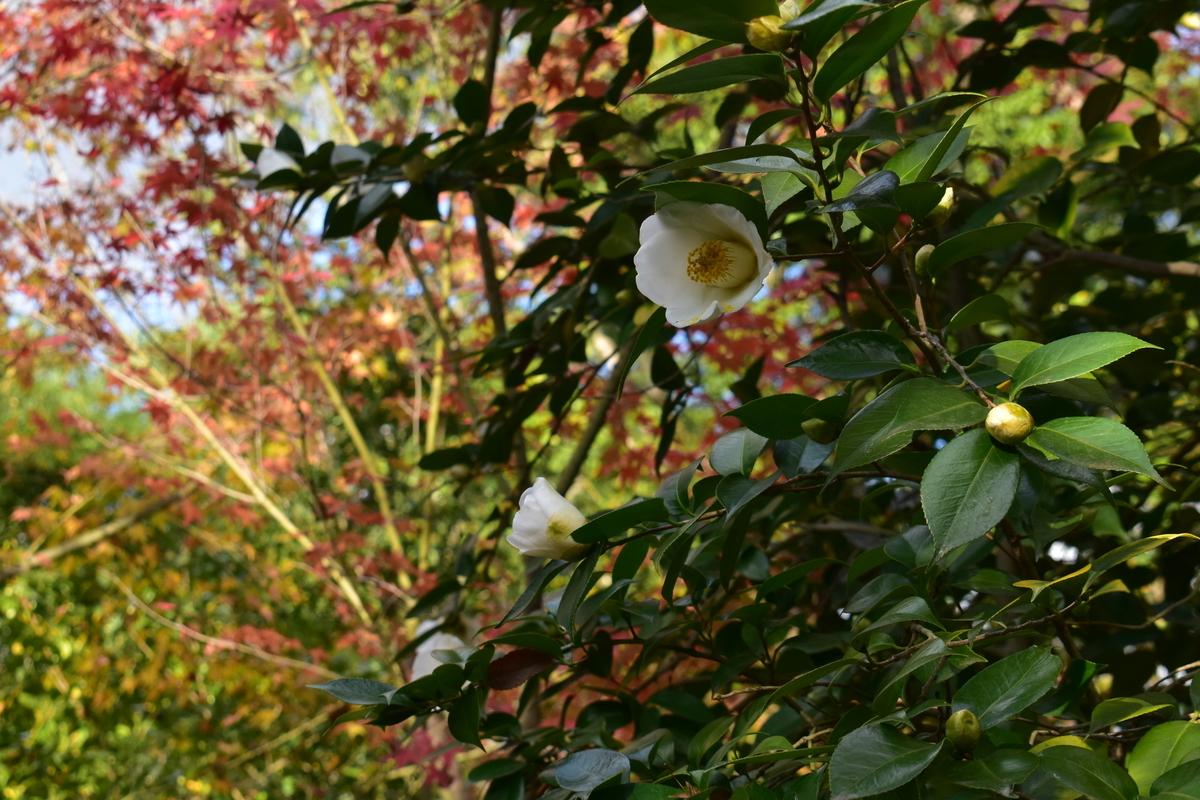 松花堂庭園の紅葉と椿 2020年11月29日 撮影:MKタクシー