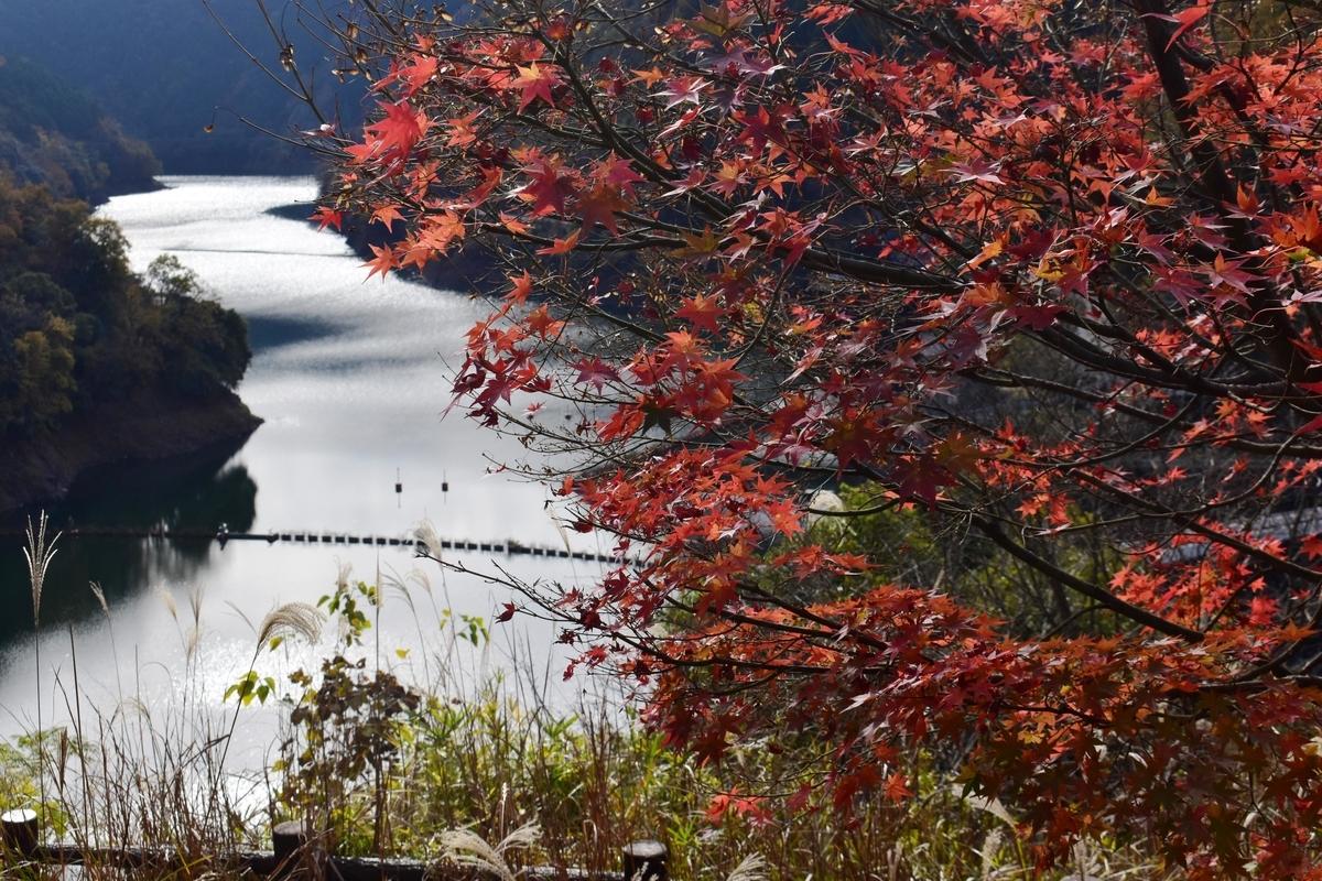天ヶ瀬森林公園の紅葉 散りはじめ 2020年11月28日 撮影:MKタクシー