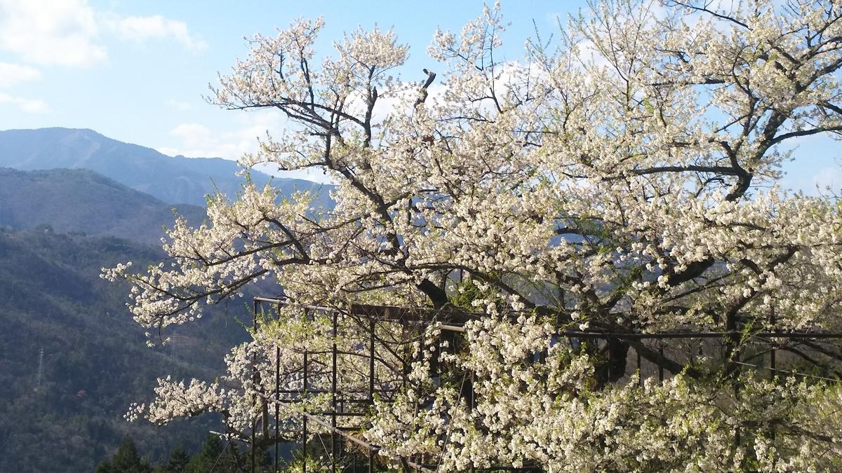 樽見の大桜(エドヒガン) 2019年4月15日 撮影:MKタクシー