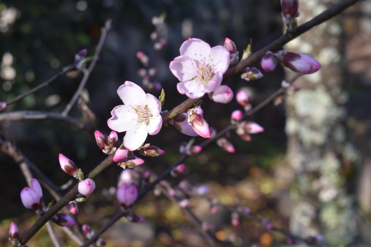 アーモンド 平野神社 2020年3月17日 撮影:MKタクシー