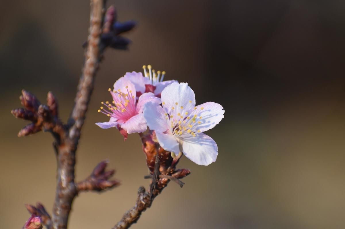 寒桜の狂い咲き 佐野藤右衛門邸 2018年10月18日 撮影:MKタクシー