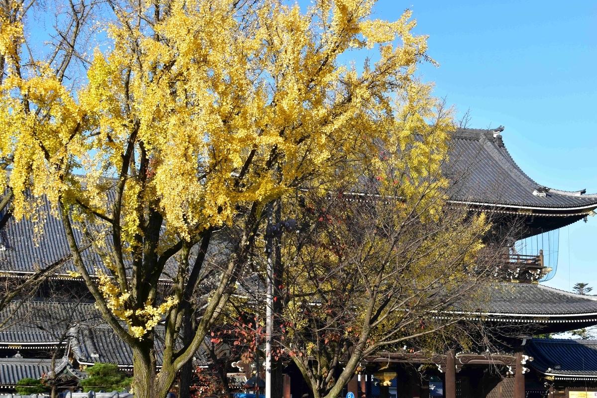 東本願寺・御影堂門前の銀杏 見頃 2020年12月1日 撮影:MKタクシー
