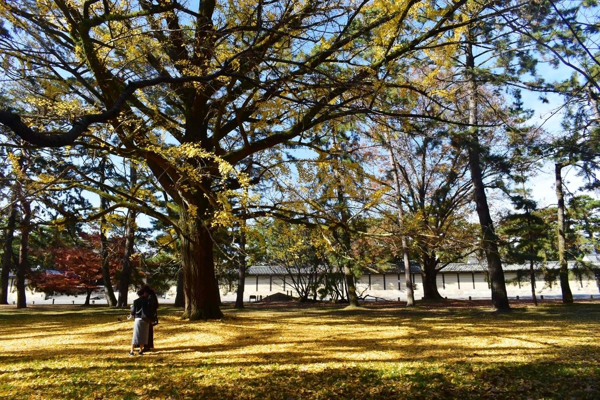 京都御苑・京都迎賓館東のイチョウ 散りはじめ 2020年11月26日 撮影:MKタクシー