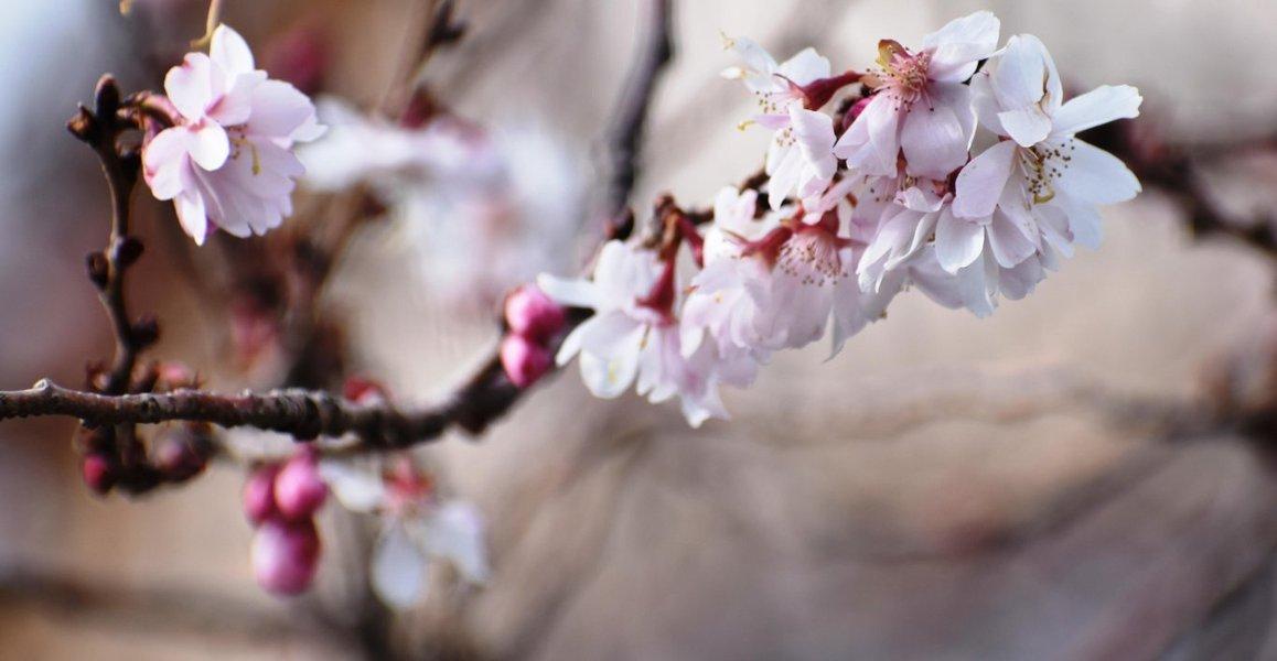 妙蓮寺の御会式桜 2月16日 撮影:MKタクシー