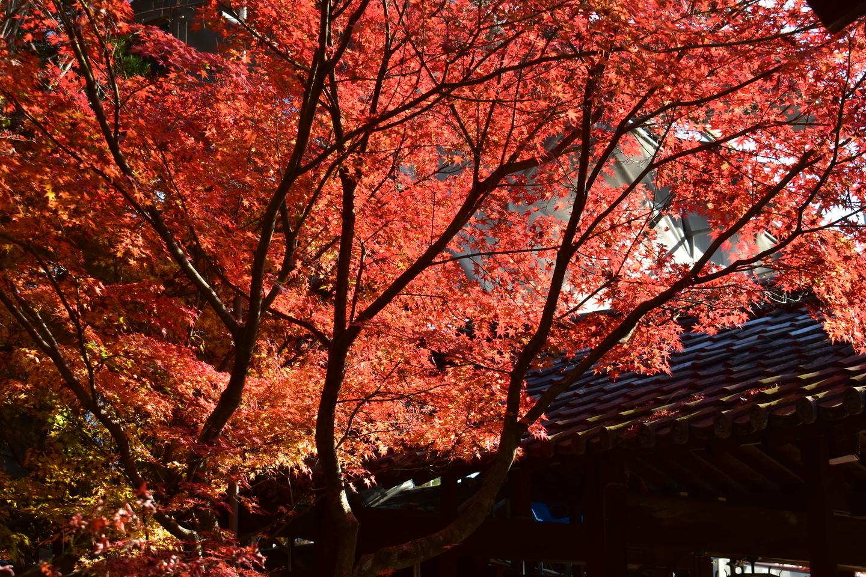 萬福寺の紅葉 散りはじめ 2020年12月5日 撮影:MKタクシー