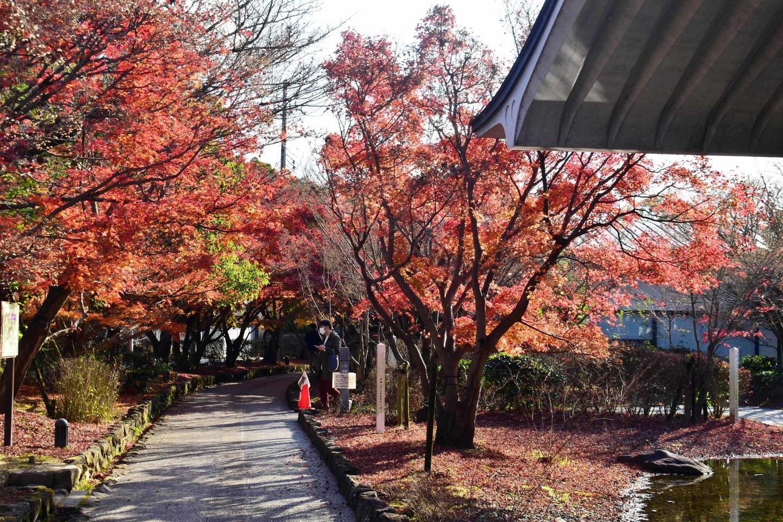 源氏物語ミュージアムの紅葉 散りはじめ 2020年12月5日 撮影:MKタクシー