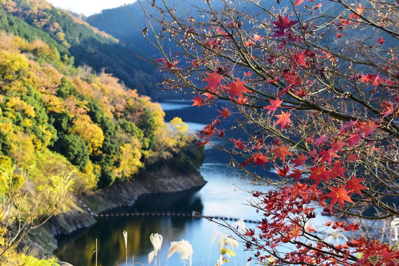天ヶ瀬森林公園の紅葉 散りはじめ 2020年12月5日 撮影:MKタクシー