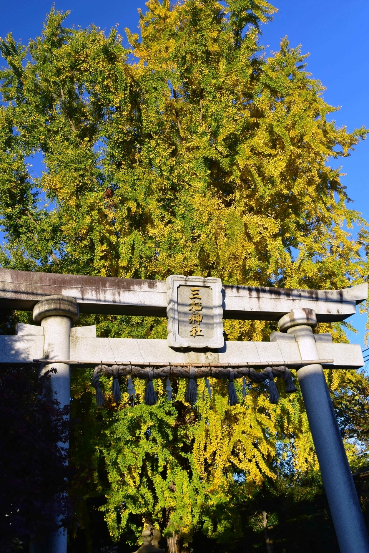三栖神社のイチョウ 黄色づく 2020年12月4日 撮影:MKタクシー
