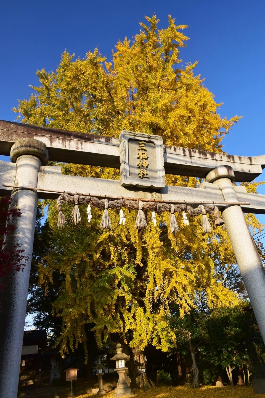 三栖神社のイチョウ 見頃 2020年12月10日 撮影:MKタクシー