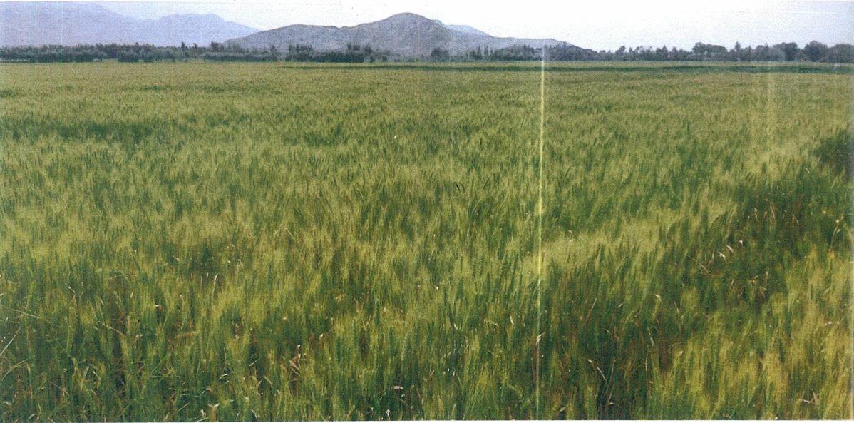 マルワリード用水路流域、一面の小麦畑(2020年4月12日)