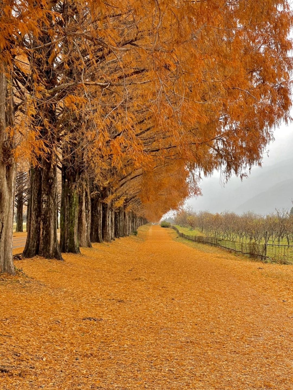 メタセコイア並木の紅葉 散りはじめ 2020年12月13日 撮影:MKタクシー