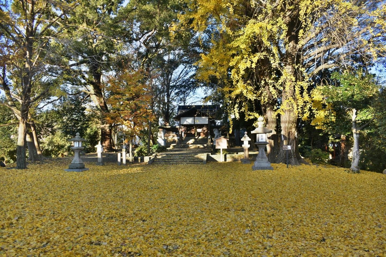 三栖神社のイチョウ 散りはじめ 2020年12月17日 撮影:MKタクシー