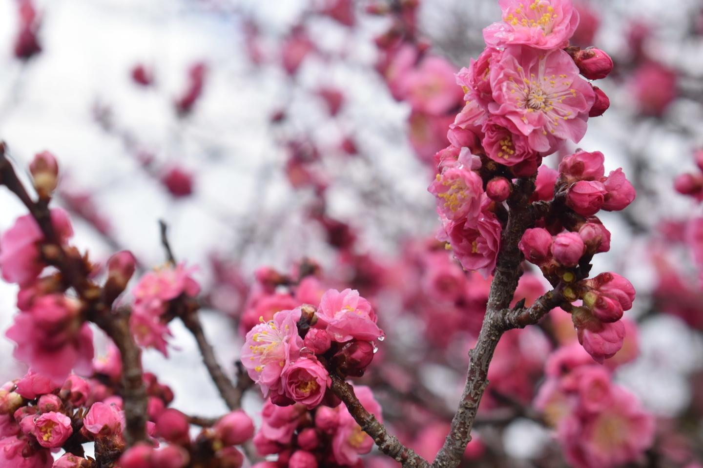 黒木の梅(九条池の北) 五分咲き 2019年3月8日 撮影:MKタクシー