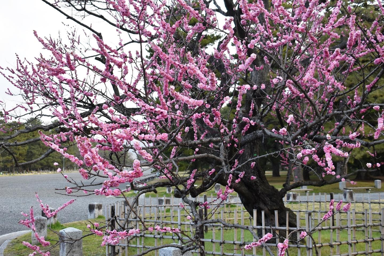 黒木の梅(九条池の北) 五分咲き 2020年3月3日 撮影:MKタクシー