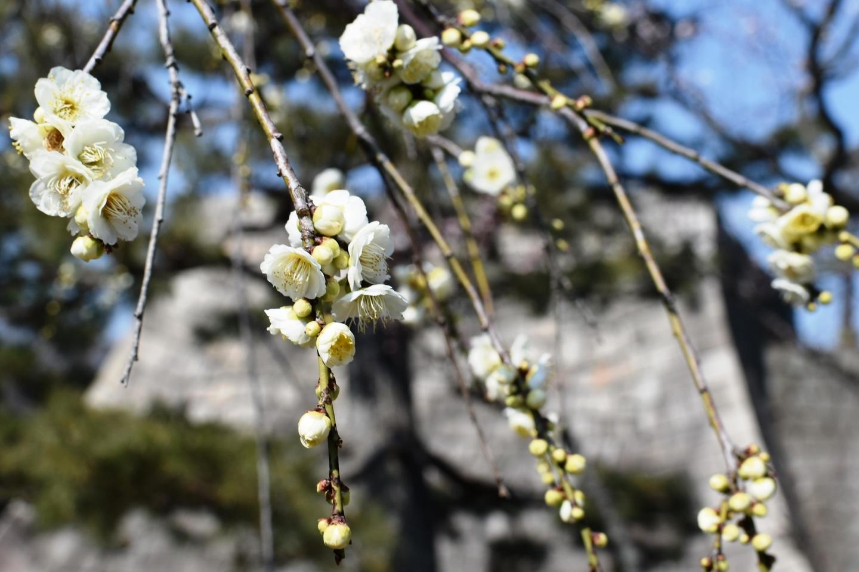 枝垂梅(梅林) 五分咲き 2019年3月2日 撮影:MKタクシー