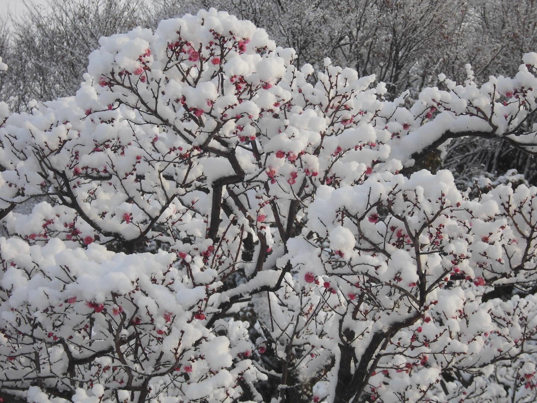 梅と雪 咲きはじめ 2017年1月16日 撮影:MKタクシー