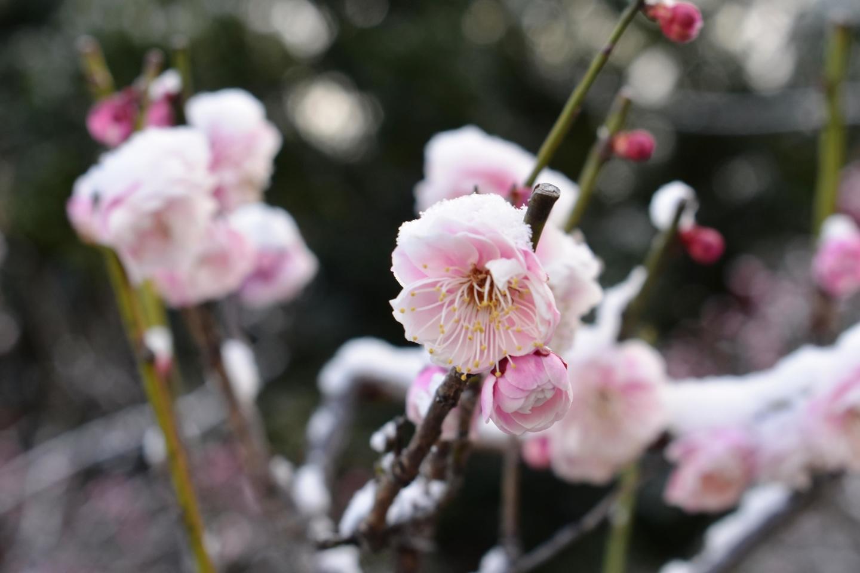新平家と雪(梅林) 三分咲き 2020年2月18日 撮影:MKタクシー