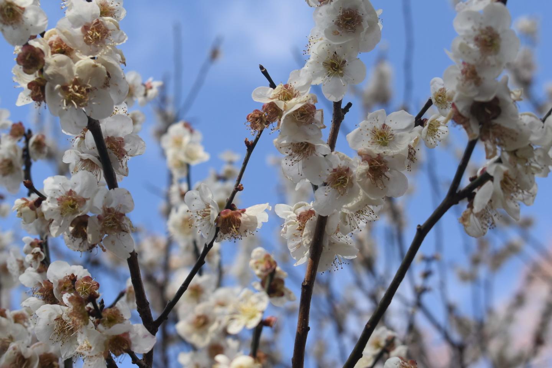 南光(京都府立植物園) 実梅 2019年3月16日 撮影:MKタクシー