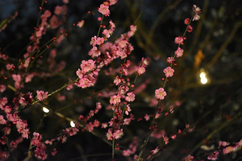 紅梅(梅苑ライトアップ) 2019年3月2日 撮影:MKタクシー