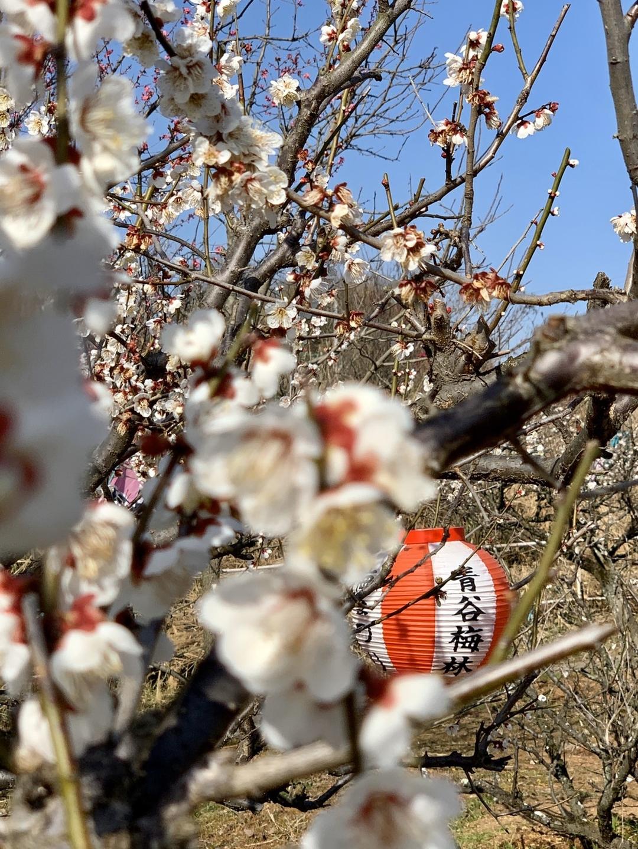 白梅(梅まつり会場) 七分咲き 2020年2月24日 撮影:MKタクシー