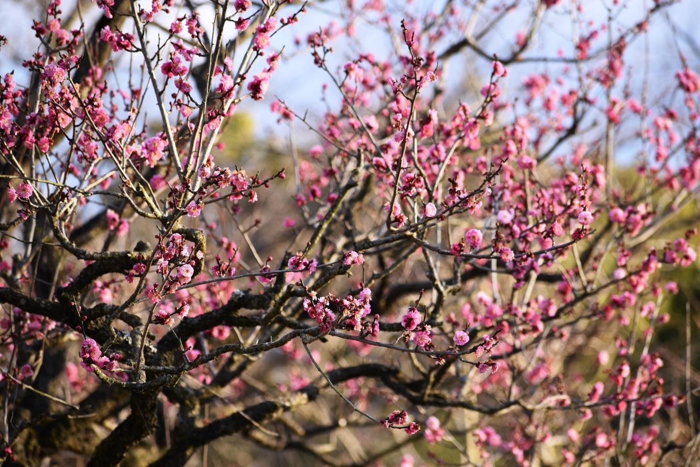 紅梅(春のゾーン) 三分咲き 2020年1月30日 撮影:MKタクシー