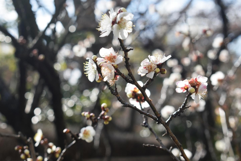 白梅 三分咲き 2020年1月30日 撮影:MKタクシー