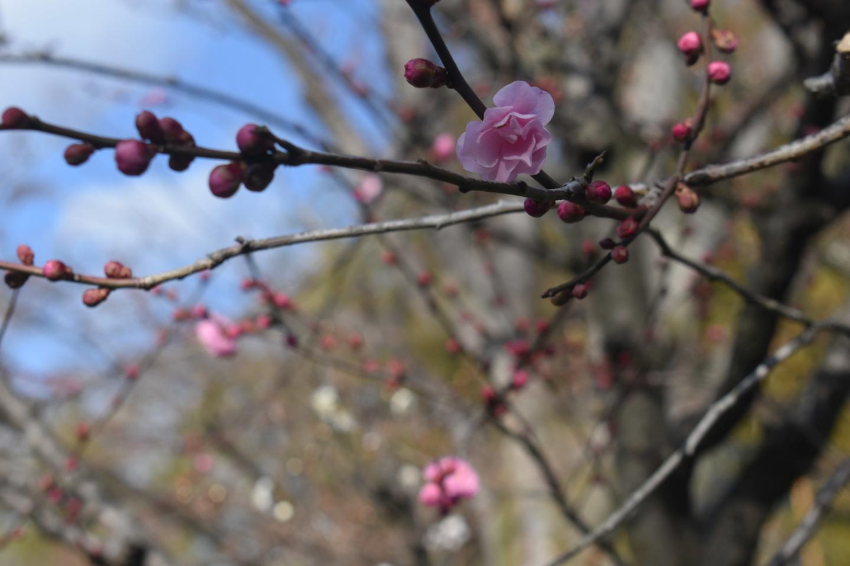 紅梅 三分咲き 2021年1月30日 撮影:MKタクシー
