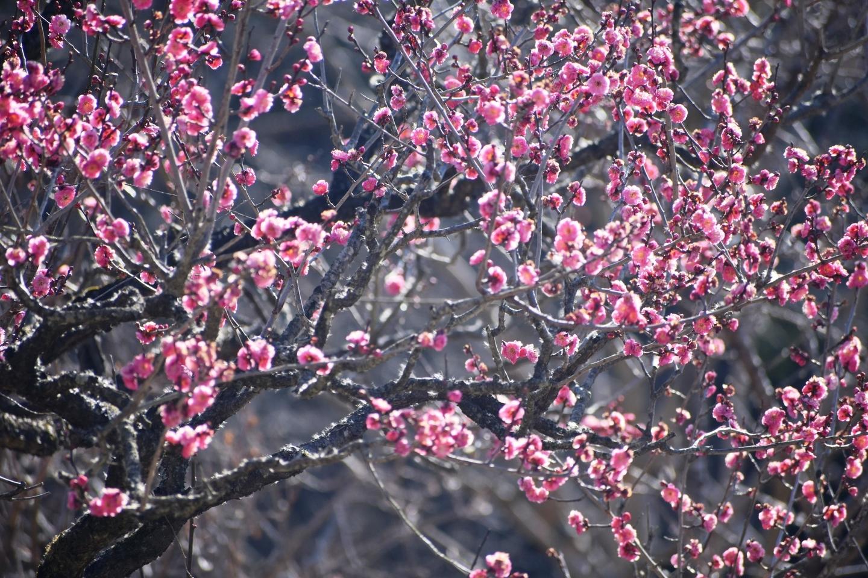 紅梅(春のゾーン) 三分咲き 2021年1月21日 撮影:MKタクシー