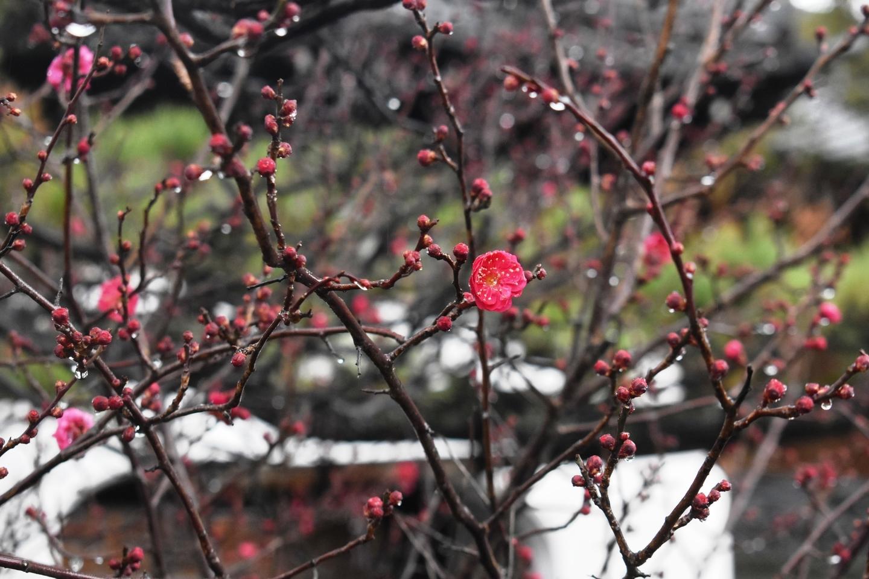紅梅(龍宮門前) 咲きはじめ 2021年1月23日 撮影:MKタクシー