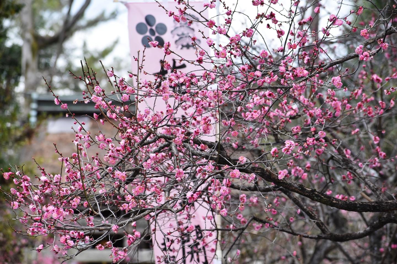 梅 三分咲き 2021年1月31日 撮影:MKタクシー