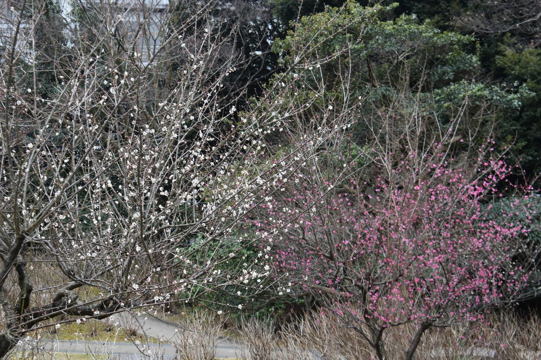梅(あじさい苑) 五分咲き 2021年2月1日 撮影:MKタクシー