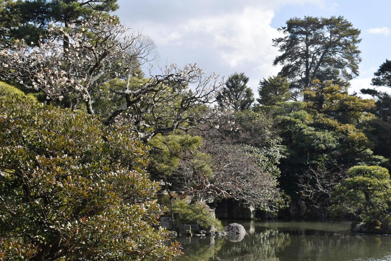 白梅(御池庭) 咲きはじめ 2021年1月31日 撮影:MKタクシー