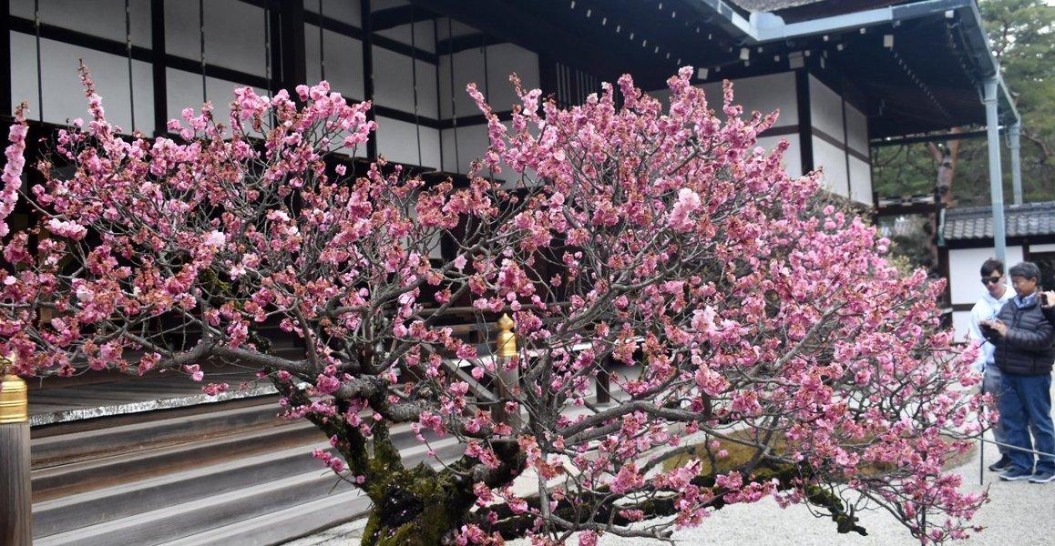 梅(参内殿) 見頃過ぎ 2019年3月16日 撮影:MKタクシー