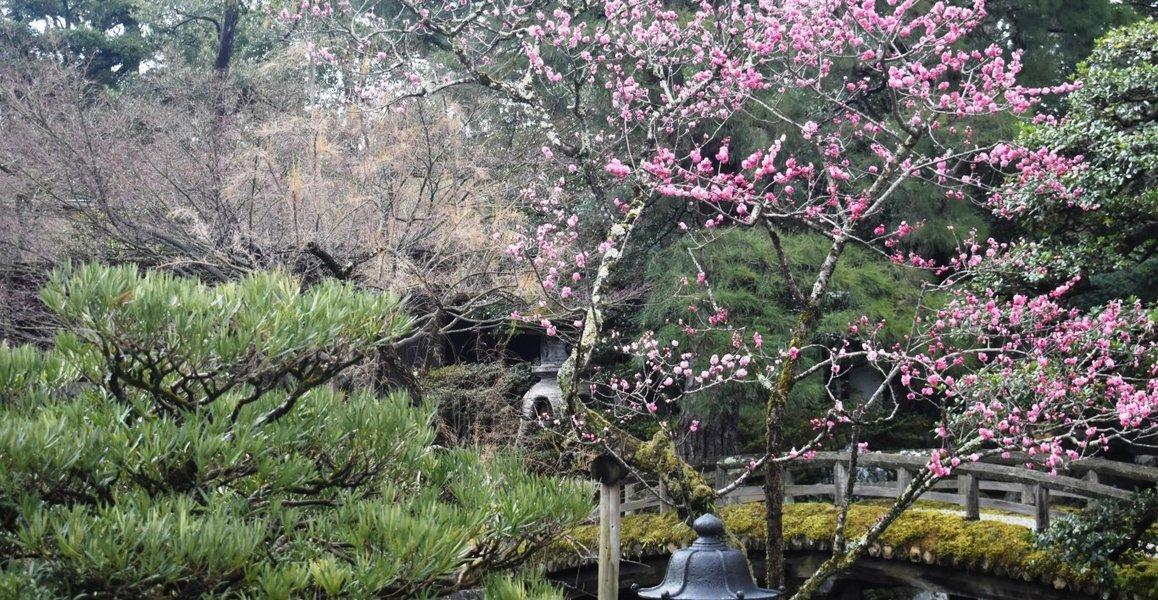 紅梅(御内庭) 散りはじめ 2019年3月16日 撮影:MKタクシー