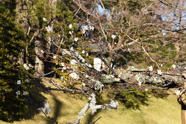 白梅(北池) 咲きはじめ 2021年1月31日 撮影:MKタクシー