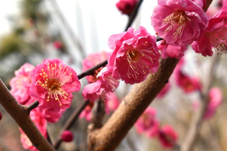 寒紅梅(京都府立植物園) 野梅系・野梅性 2021年2月4日 撮影:MKタクシー