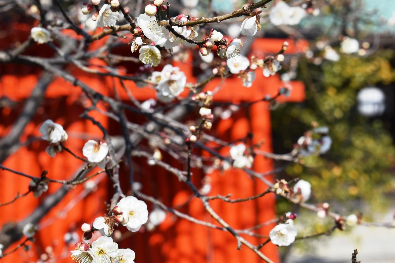 紅梅(絵馬掛所前) 三分咲き 2021年2月4日 撮影:MKタクシー