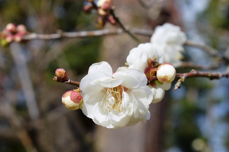 玉牡丹(梅林) 咲きはじめ 2021年2月4日 撮影:MKタクシー