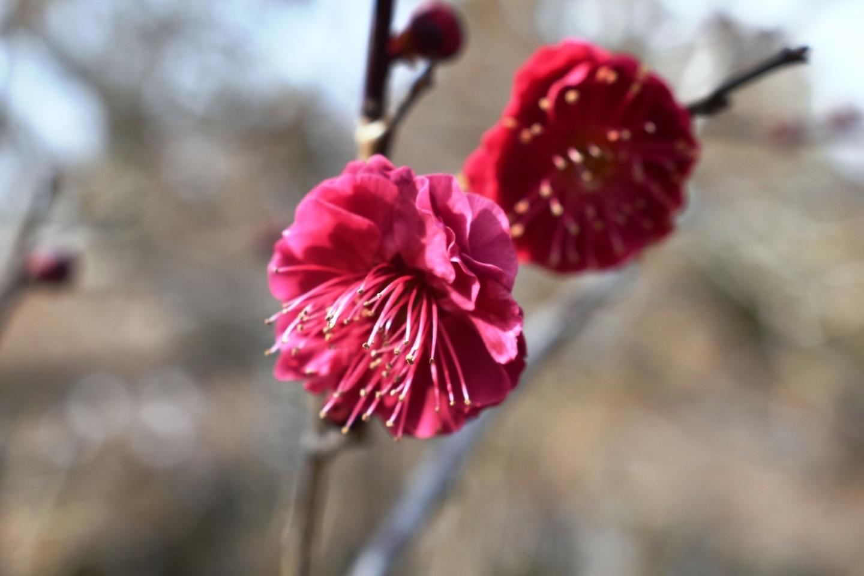 鹿児島紅(梅林) 咲きはじめ 2021年2月4日 撮影:MKタクシー