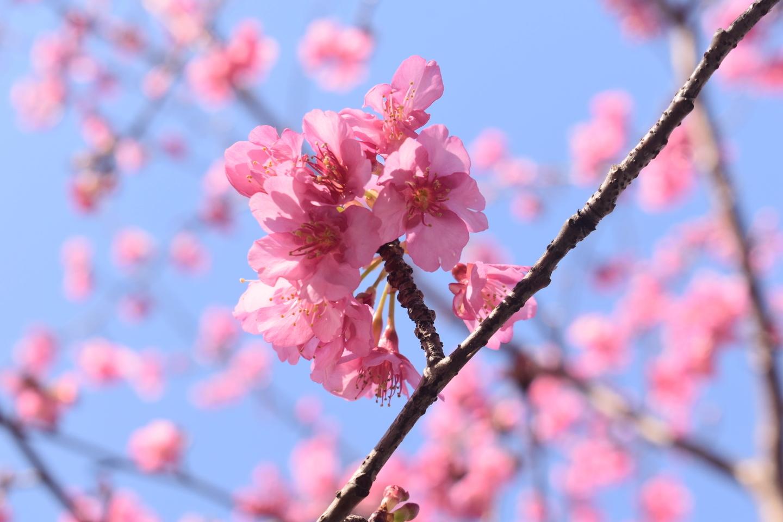 淀水路の早咲きの正月桜 五分咲き 2021年1月31日 撮影:MKタクシー