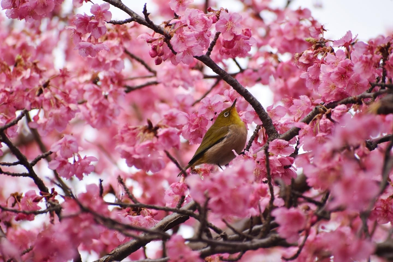 淀水路の早咲きの正月桜 見頃 2021年2月7日 撮影:MKタクシー