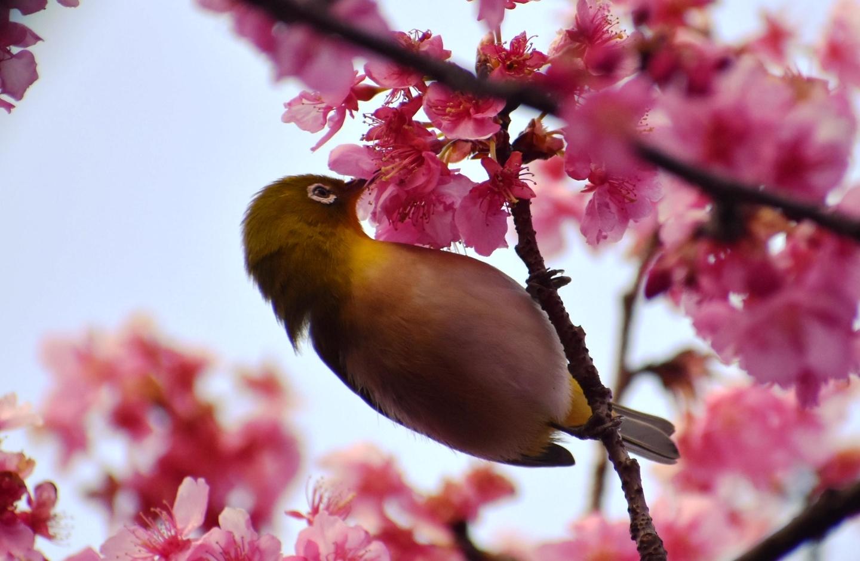淀水路の超早咲きの正月桜とメジロ 見頃 2021年2月7日 撮影:MKタクシー