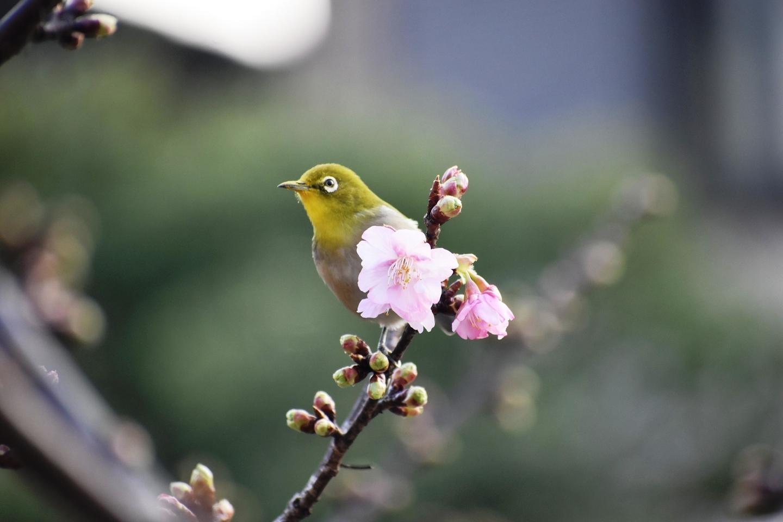 淀水路の河津桜とメジロ ちらほら 2021年2月7日 撮影:MKタクシー