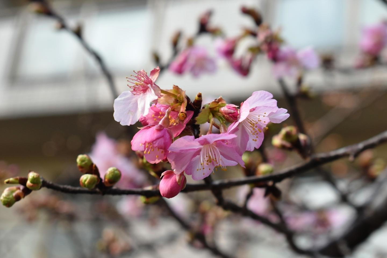 與杼神社の河津桜 咲きはじめ 2021年2月7日 撮影:MKタクシー